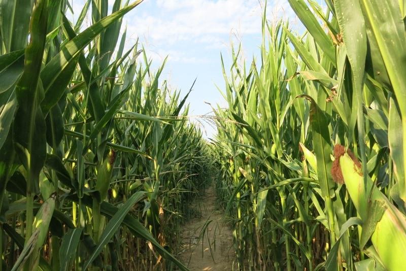 il labirinto di mais di mezzago
