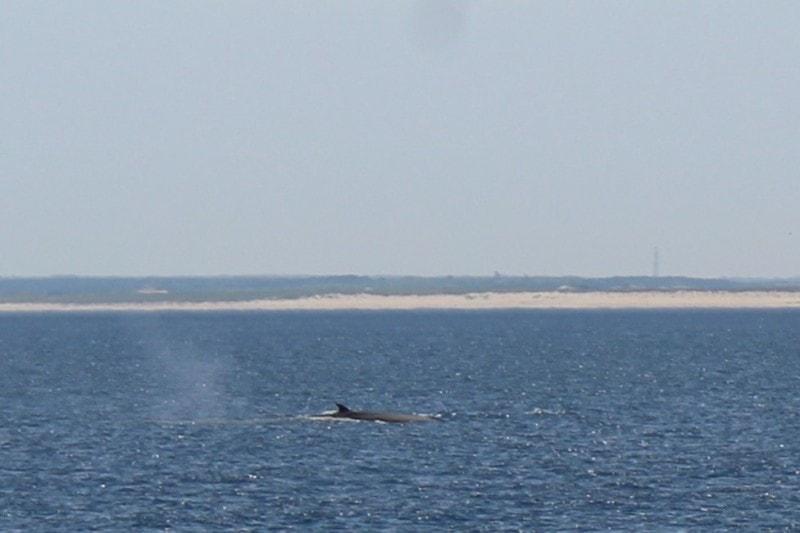 dove vedere le balene a cape cod