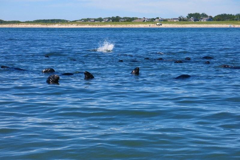 dove vedere le foche a cape cod